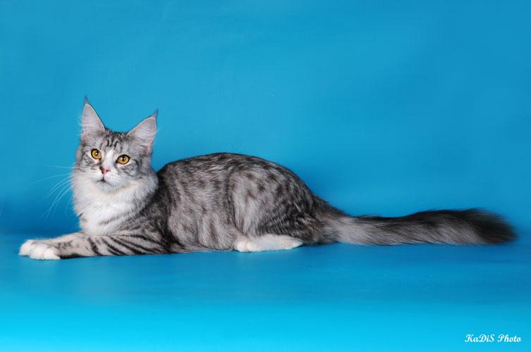 Фотографии кошки мейн кун.
